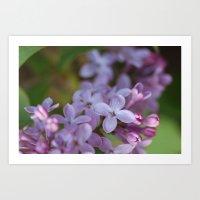 Lilacs in Bloom Art Print