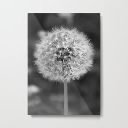 Dandelion Gone to Seed Metal Print