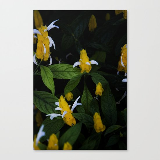 Golden shrimp plant. Flowers. Canvas Print