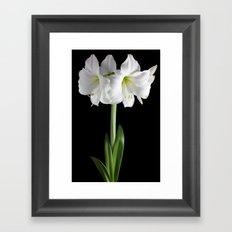 White amaryllis Framed Art Print
