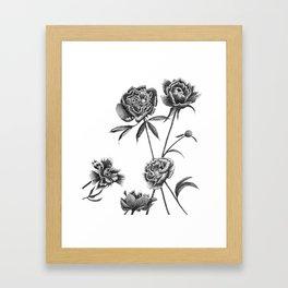 Peonies Sketch Framed Art Print