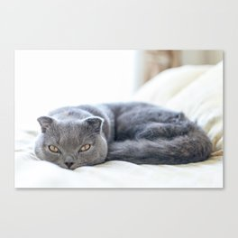 Beautiful Scottish Fold cat curled up on bed Canvas Print