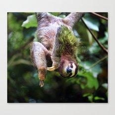 Three-Toed Sloth Canvas Print
