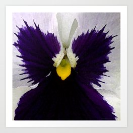 Watercolor of a white and purple pansy  Art Print