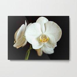 White Phalaenopsis Moth  Orchid Metal Print