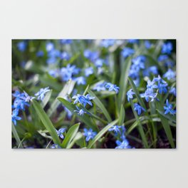 Little blue stars blooming Canvas Print