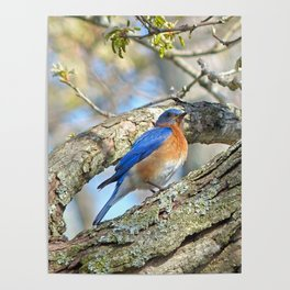 Bluebird in Tree Poster