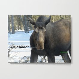 Moose Munching Poplar Lunch Metal Print