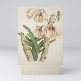 Flower White and Sanguine Dendrobe dendrobium albosanguineum1 Mini Art Print