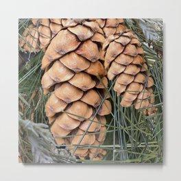 Sugar Pine cones Metal Print