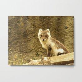 A little fox... Metal Print