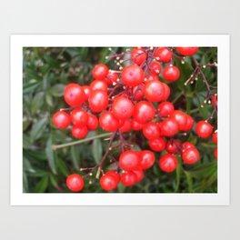 Red Nandina Berries Art Print