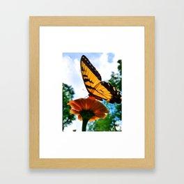 Swallowtail Butterfly on Zinnia Framed Art Print