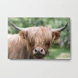 Portrait of a cute Scottish Highland Cattle Metal Print