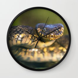 Viperine water snake ready to attack Wall Clock