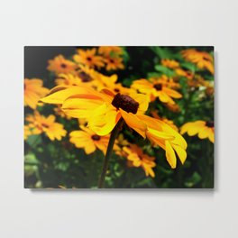 Field of Black-eyed Susans Metal Print