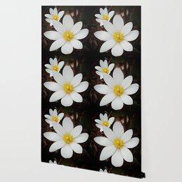 Spring woodland wildflower:  bloodroot, Sanguinaria Wallpaper