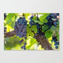 The Harvest - Grapes Canvas Print