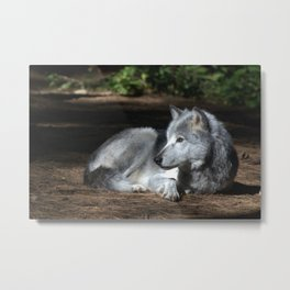 Gray Wolf at Rest Metal Print