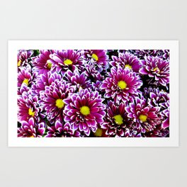 Purple, Pink, Dahlias Art Print