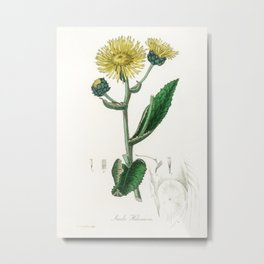 Elecampane (Inula helenium) illustration from Medical Botany (1836) by John Stephenson and James Mor Metal Print