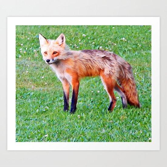 Red Fox in a Yard Art Print