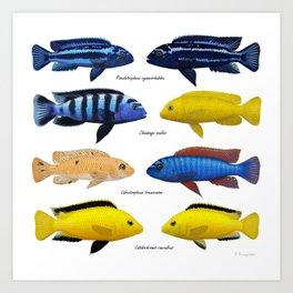 Lake Malawi mbuna cichlids Art Print