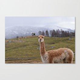 Curious Vicuña Canvas Print