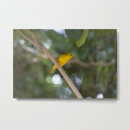 Saffron finch on a branch Metal Print