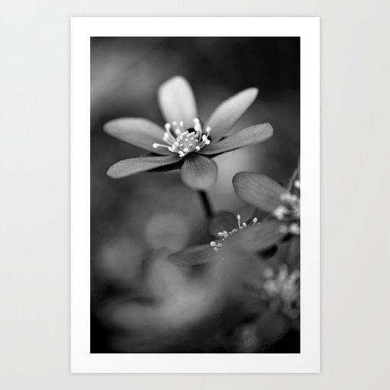 Blue spring flower Hepatica in bw Art Print