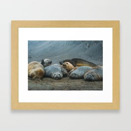 Elephant Seals! Framed Art Print