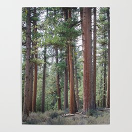 Ponderosa Pine Forest Poster