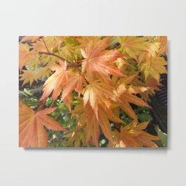 Japanese Acer Shirasawanum Autumn Moon Metal Print