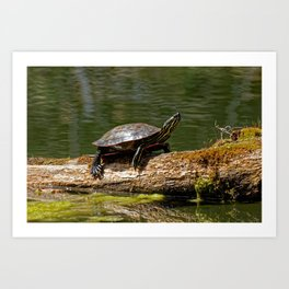 Painted Turtle on a Log - Photography Art Print