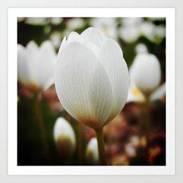 Spring woodland wildflower:  bloodroot, Sanguinaria Art Print
