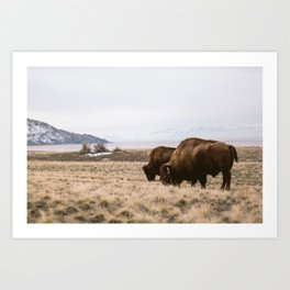 Bison sharing the feed Art Print