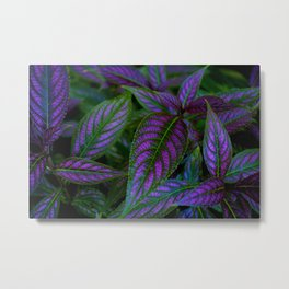 Persian Shield Metal Print