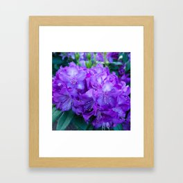 Majestic Purple Rhododendron Framed Art Print