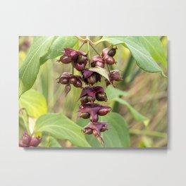 Himalayan Honeysuckle Berries Metal Print