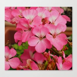 Pink Geranuims Canvas Print