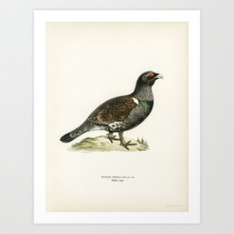 Western capercaillie (TETRAO UROGALLUS) illustrated by the von Wright brothers. Art Print