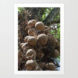 Cannonball Tree Fruit Art Print