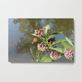 Monarch Butterfly hanging on Milkweed Metal Print
