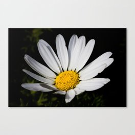 Midnight Daisy Canvas Print