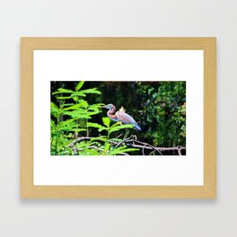 Juvenile Tricolored Heron Framed Art Print