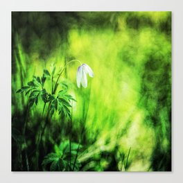 A white wood anemone flower in green Canvas Print