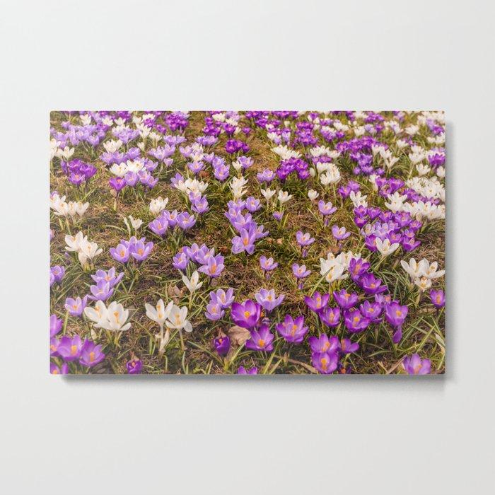 Glade of beautiful flowers crocuses Metal Print