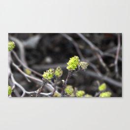 Green Bud Canvas Print