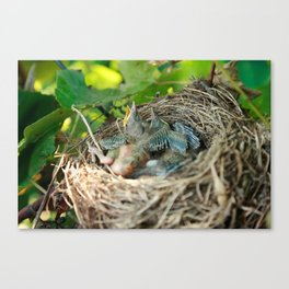 Azores blackbird nest Canvas Print
