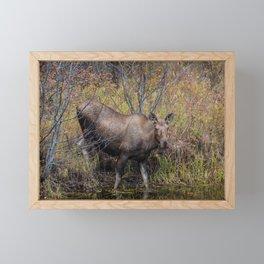 Moose in the Fall, at a Pond, Fairbanks Alaska Framed Mini Art Print